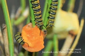 Monarch caterpillar eating butternut squash