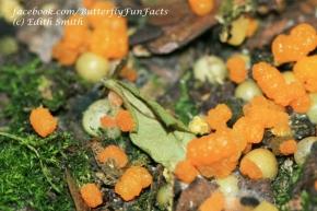 Orange Monarch butterfly caterpillar frass