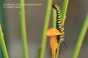 Monarch caterpillar eating butternut squash