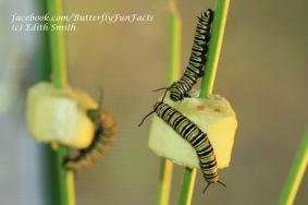 Monarch caterpillars eating cucumber
