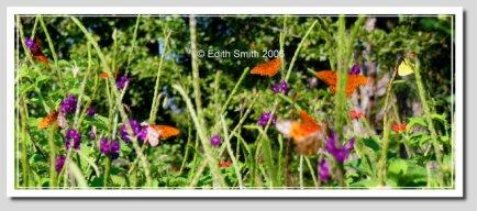 porterweed.tall.garden.butterflies.63,jpg