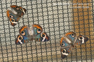 Three Buckeye butterflies without abdomens