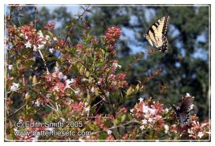 Abelia Abelia Grandiflora Butterfly Fun Facts
