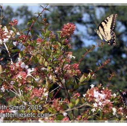 abeliabutterflies6