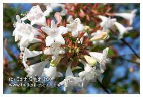 abeliaflower6