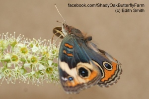 Buckeye butterfly without an abdomen is drinking nectar from Sweet Almond blooms.