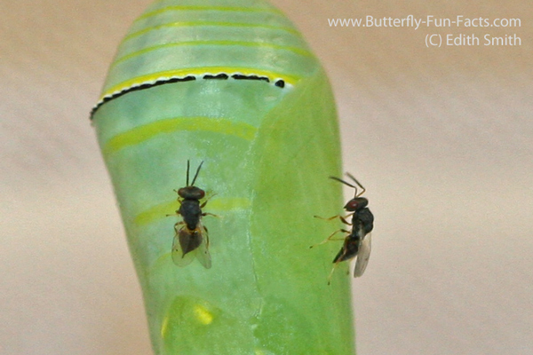 chalcid-monarch-two-on-soft-pupa-6