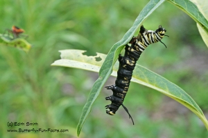 Predatory stink bugs killed this Monarch caterpillar