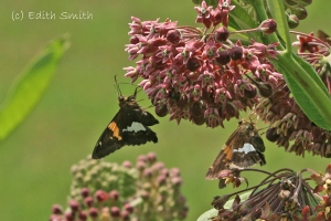 silver-spotted-skipper-common-milkweed-15-7-25.6