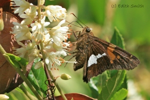silver-spotted-skipper-sweet-15-7-25
