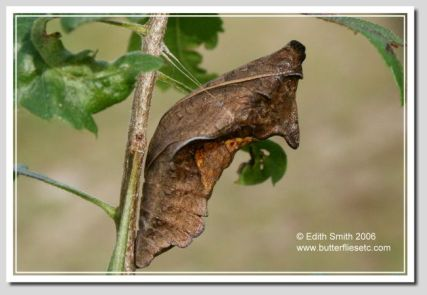 Gold Rim chrysalis