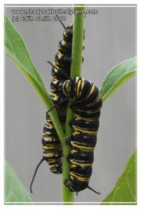 Monarch caterpillars abnormal color disease