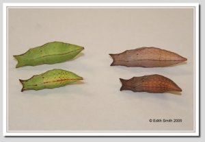 Top: Palamedes Swallowtail chrysalises Bottom: Spicebush Swallowtail chrysalises