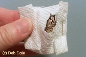Make a pocket with a piece of paper towel, hang it on an object, and place the chrysalis inside the pocket.
