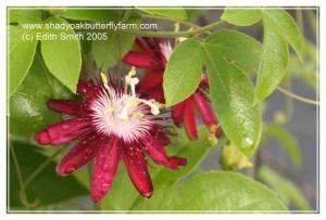 Lady Margaret passion vine - Passiflora 'Lady Margaret' - GF