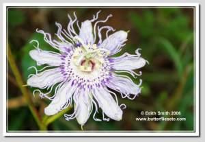Maypop Passion vine - Passiflora incarnata