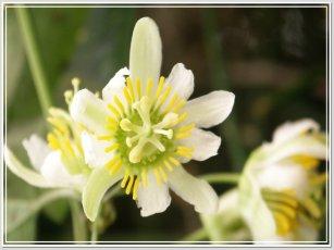 Boomerang Passion vine - Passiflora biflora