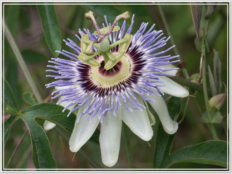 Blue Passion vine - Passiflora caerulea