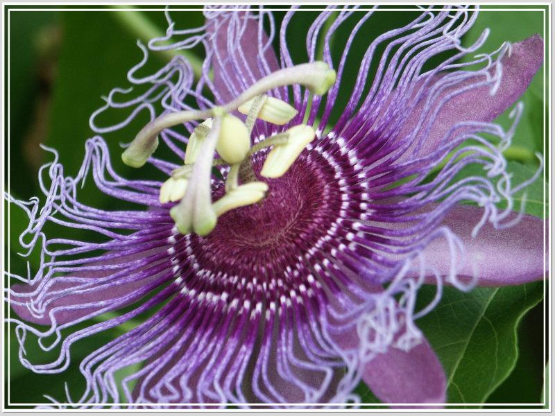 Incense Passion vine - Passiflora incarnata 'Incense'