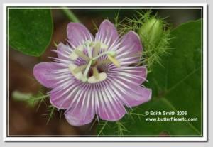 Running pop passion vine - Passiflora foetida