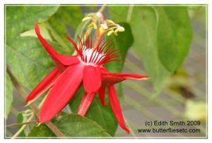 Red passion flower - Passiflora coccinea