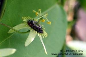 Corky Stem Passion Vine - Passiflora suberosa