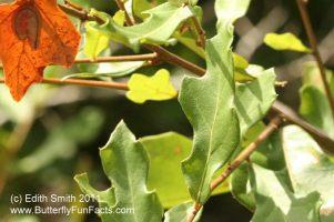 Afflicted Dagger Moth -Acronicta afflicta - camouflaged caterpillar on orange leaf at upper left