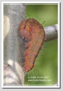 Afflicted Dagger Moth -Acronicta afflicta