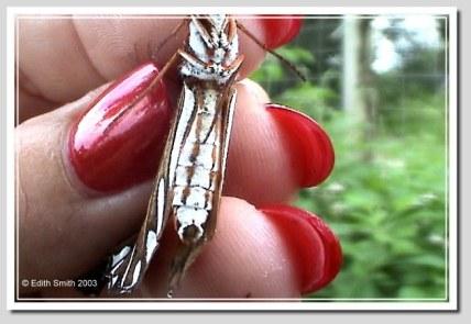 Female Gulf Fritillary butterfly