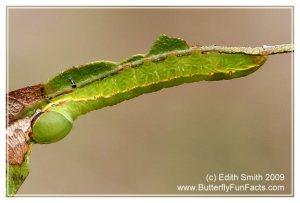 Angulose prominent Peridea angulosa