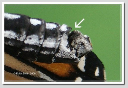 Female Monarch pairs at the area indicated by the arrow