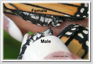 Hand pair Monarch butterflies