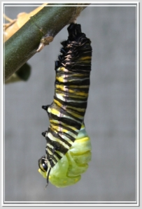 Monarch pupating