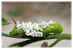 Braconid wasp cocoons attached to a Tomato Hornworm moth caterpillar