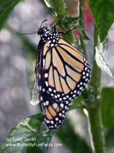 Frozen Monarch