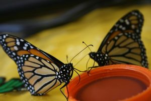 Feeding Monarch butterflies Gatorade
