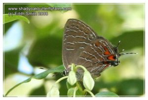 Striped Hairstreak butterflies spend the winter as eggs. All other stages die before winter or in the cold that winter brings.