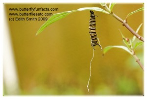 Tachinid fly infected Monarch caterpillar