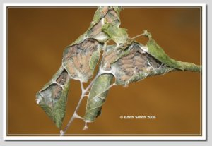 Tawny Emperor caterpillars hide inside leaves during the winter.