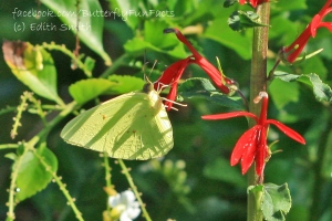 Cardinal flower and a Cloudless Sulphur butterfly