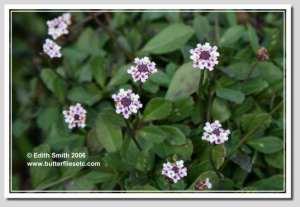 Frog fruit, fog fruit, matchstick plant - Botanical name: Lippia or Phyla