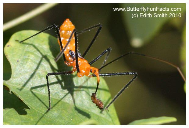 Milkweed assassin bug nymph has killed a caterpillar