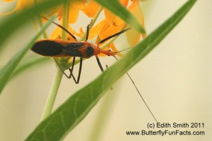An adult milkweed assassin bug searches milkweed for caterpillars