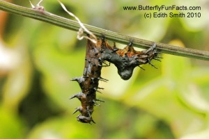 Nuclear Polyhedrosis Virus NPV killed a Gulf Fritillary caterpillar