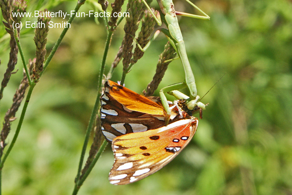 A praying mantis is eating a Gulf Fritillary butterfly