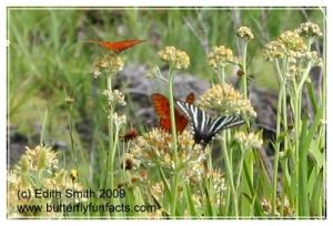 Redroot with a Zebra Swallowtail and a couple of Gulf Fritillaries