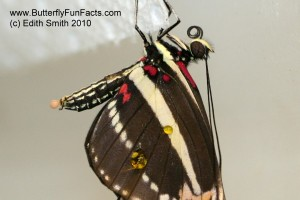 A freshly emerged Zebra Longwing is leaking hemolyph from its wing.