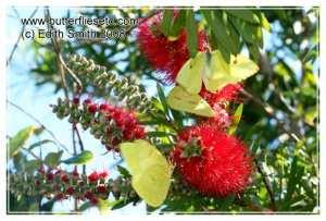 Cloudless Sulphur butterflies drink nectar from bottlebrush blooms
