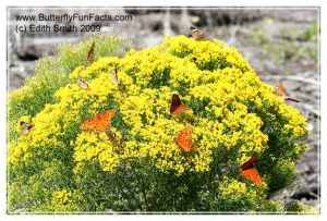Migrating Gulf Fritillary and Buckeye butterflies drink from fall-blooming flat top goldenrod.