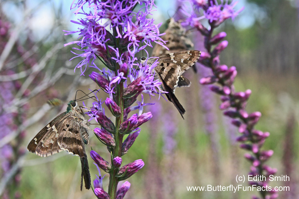 Long-tailed Skippers drink nectar from blazing star blooms